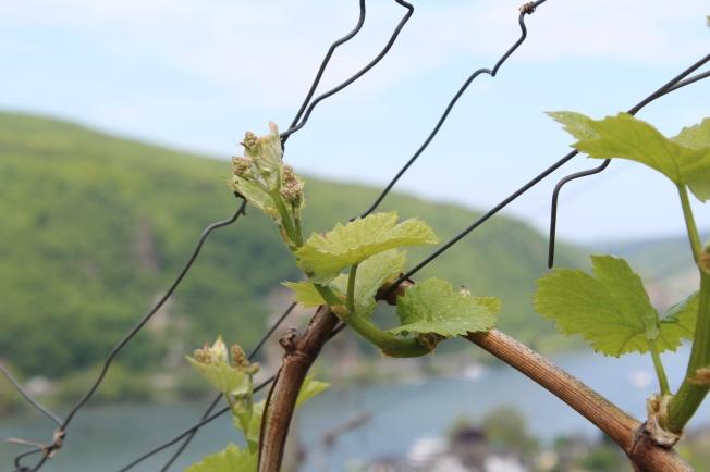 Wijnbouw in de Rheingau